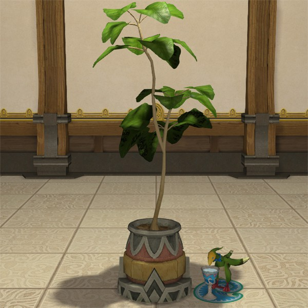 Potted Umbrella Fig